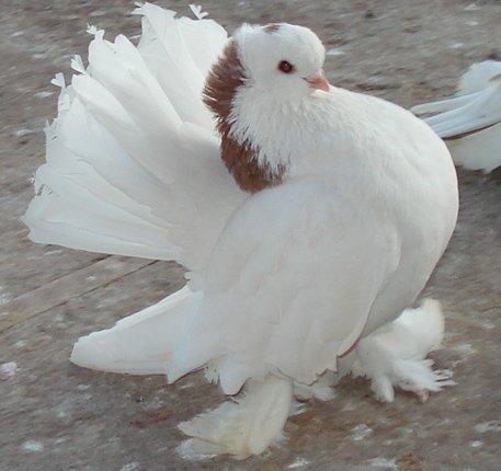 Кто нибудь голубей держит? - 1a0b3a587d59.jpg
