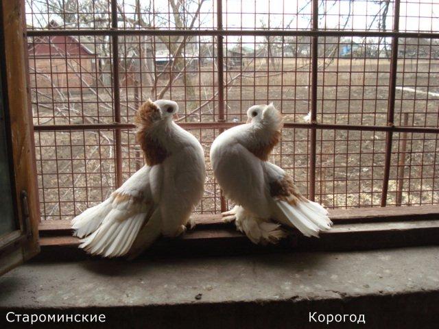 Кто нибудь голубей держит? - ca5619a848ca.jpg