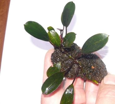Продам излишки растений - P1100647.JPG