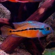 Большой ассортимент  Аквариумных рыбок - цихлазома никарагуанская2.jpg