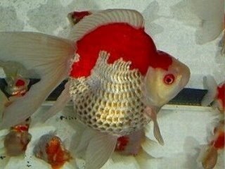 Есть такие рыбки Сабао и Тамасаба - f4uCCXkkQm8.jpg