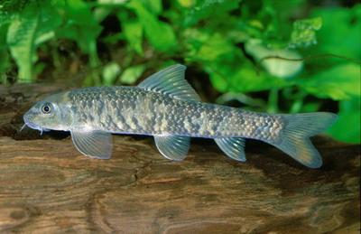 Гарра руфа рыба-доктор - garra-1.jpg