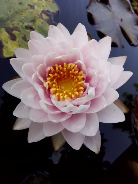 Кувшинки (нимфеи) в ассортименте - Siam Rose.jpg