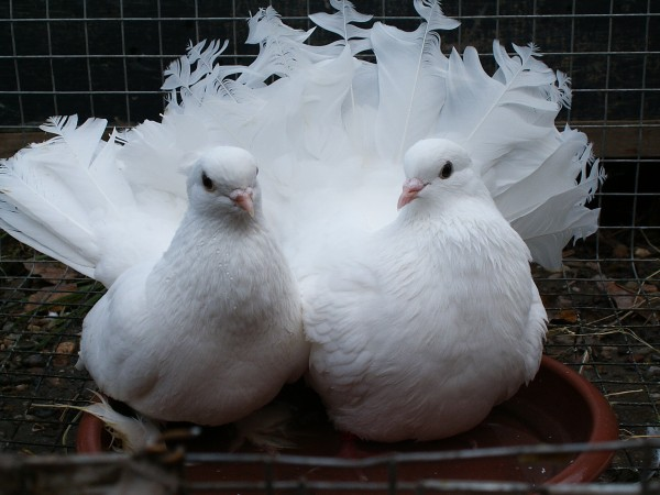 Кто нибудь голубей держит? - PICT3072.JPG