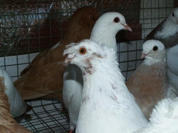 Кто нибудь голубей держит? - PICT3218.JPG