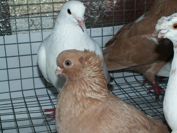 Кто нибудь голубей держит? - PICT3220.JPG