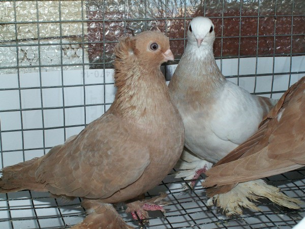 Кто нибудь голубей держит? - PICT3225.JPG