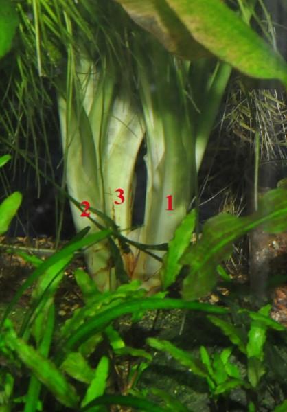 Цветение Кринум волнистый (Crinum calamistratum) - krinum-3.jpg