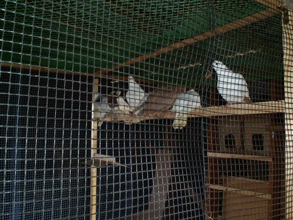 Кто нибудь голубей держит? - PICT3260.JPG