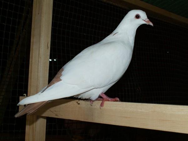 Кто нибудь голубей держит? - PICT3246.JPG