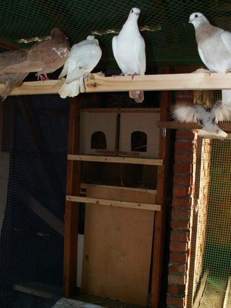 Кто нибудь голубей держит? - PICT3249.JPG