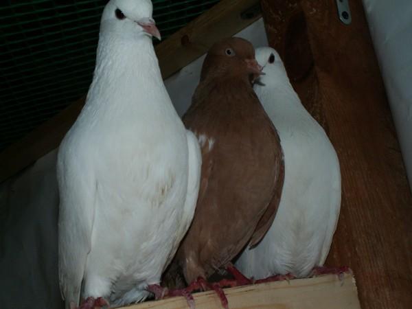 Кто нибудь голубей держит? - PICT3273.JPG