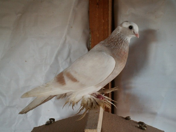 Кто нибудь голубей держит? - PICT3269.JPG