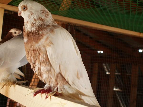 Кто нибудь голубей держит? - PICT3264.JPG
