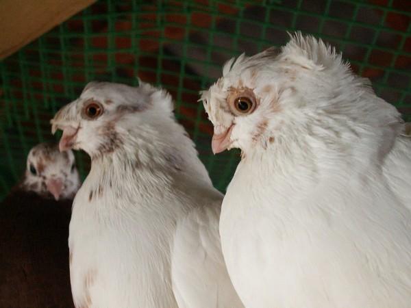 Кто нибудь голубей держит? - PICT3281.JPG