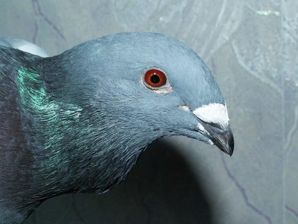 Кто нибудь голубей держит? - PICT3341.JPG