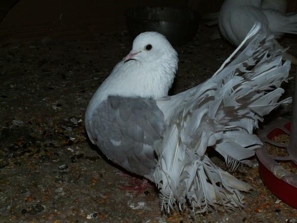 Кто нибудь голубей держит? - PICT3353.JPG