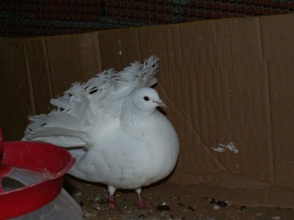 Кто нибудь голубей держит? - PICT3354.JPG
