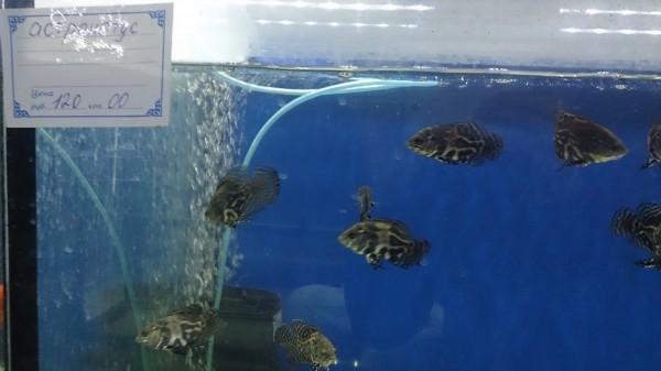 Ищу (хочу) рыбок - DSC_1210.JPG