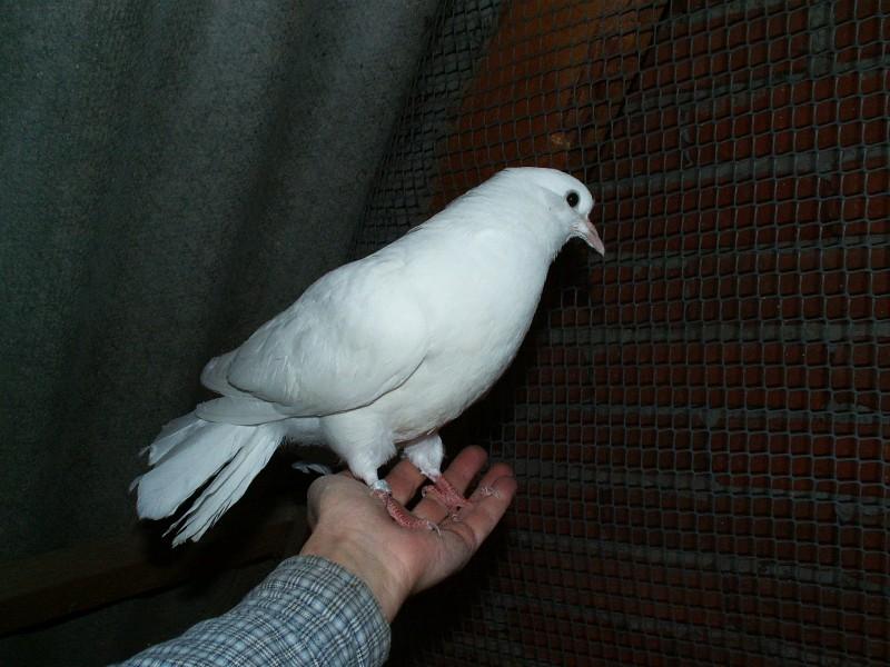 Кто нибудь голубей держит? - PICT3697.JPG