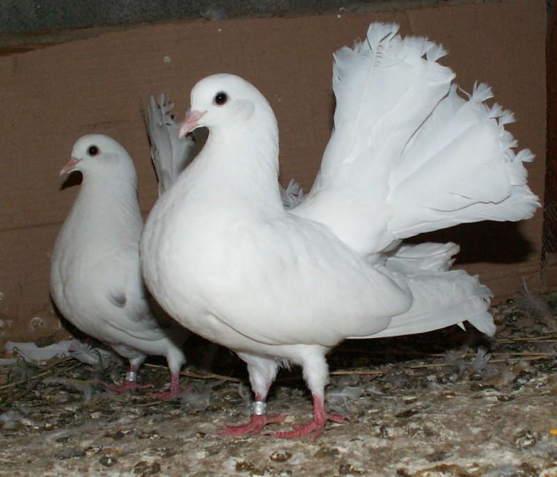 Кто нибудь голубей держит? - PICT4127.JPG