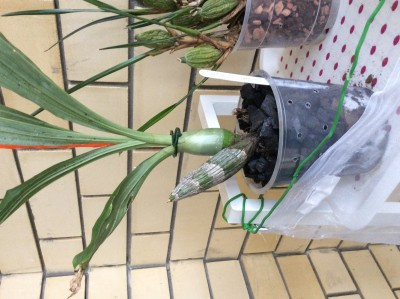 Catasetum Fibriatum - image.jpeg