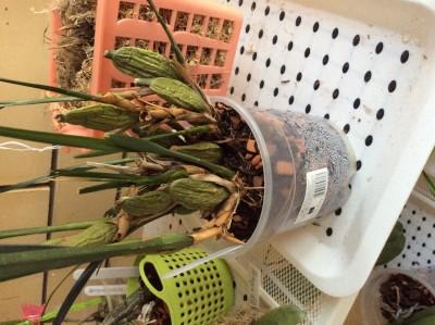 Maxillaria Tenuifolia - image.jpeg