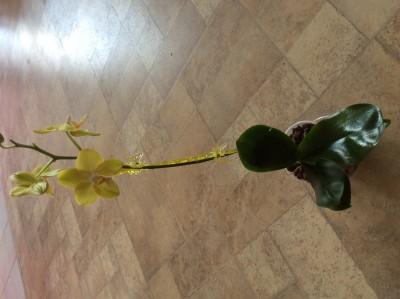 Phalaenopsis - image.jpeg