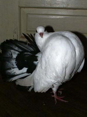 Кто нибудь голубей держит? - PICT6253.JPG