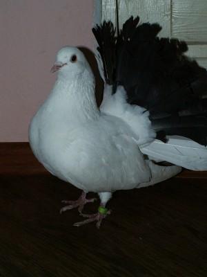 Кто нибудь голубей держит? - PICT6250.JPG