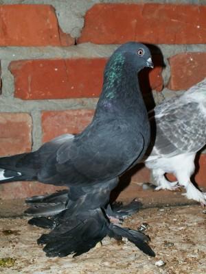 Кто нибудь голубей держит? - PICT6070.JPG