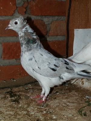 Кто нибудь голубей держит? - PICT6067.JPG