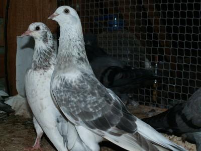 Кто нибудь голубей держит? - PICT6057.JPG