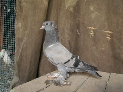 Кто нибудь голубей держит? - PICT6135.JPG