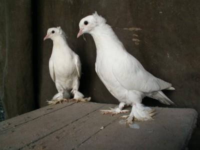 Кто нибудь голубей держит? - PICT6130.JPG