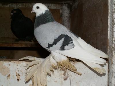 Кто нибудь голубей держит? - PICT6326.JPG