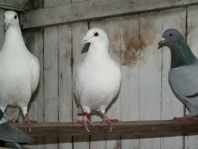 Кто нибудь голубей держит? - PICT6610.JPG