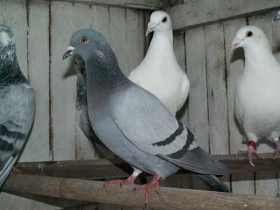 Кто нибудь голубей держит? - PICT6608.JPG