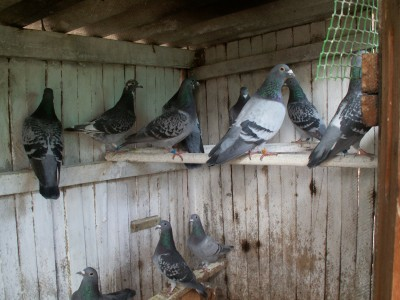 Кто нибудь голубей держит? - PICT6667.JPG