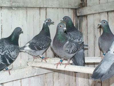 Кто нибудь голубей держит? - PICT6670.JPG