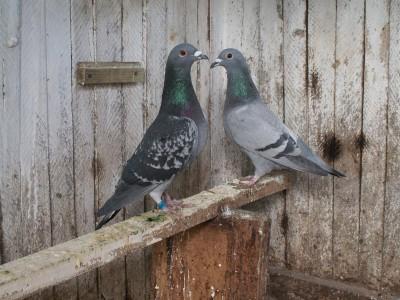 Кто нибудь голубей держит? - PICT6671.JPG