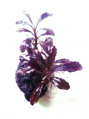 Продам излишки растений - P1080832.JPG