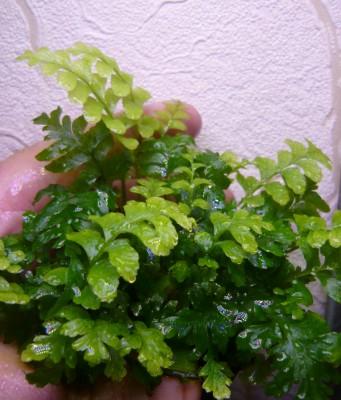 Продам излишки растений - P1100508.JPG