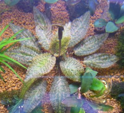 Продам излишки растений - P1100591.JPG