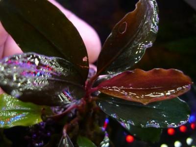 Продам излишки растений - P1100602.JPG
