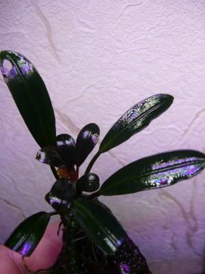 Продам излишки растений - P1100640.JPG