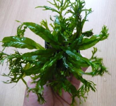 Продам излишки растений - P1100187.JPG