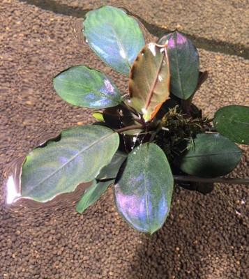 Продам излишки растений - golden stein.jpg