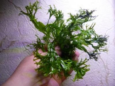 Продам излишки растений - P1100688.JPG