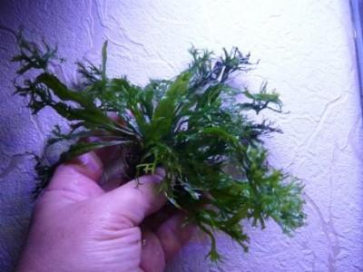 Продам излишки растений - P1100687.JPG